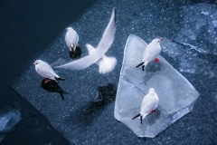 Lind Johan ( Swedish ) - Black-headed gulls on ice. || Highly commended