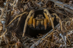 Aznar González de Rueda Javier ( Spanish ) - Wolf Spider on the enter of the hole || Highly commended