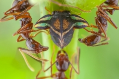 Aznar González de Rueda Javier ( Spanish ) - Ants protecting a treehopper || Highly commended