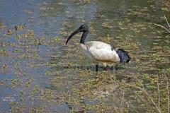 ibis 1500by jpg 72 dpi