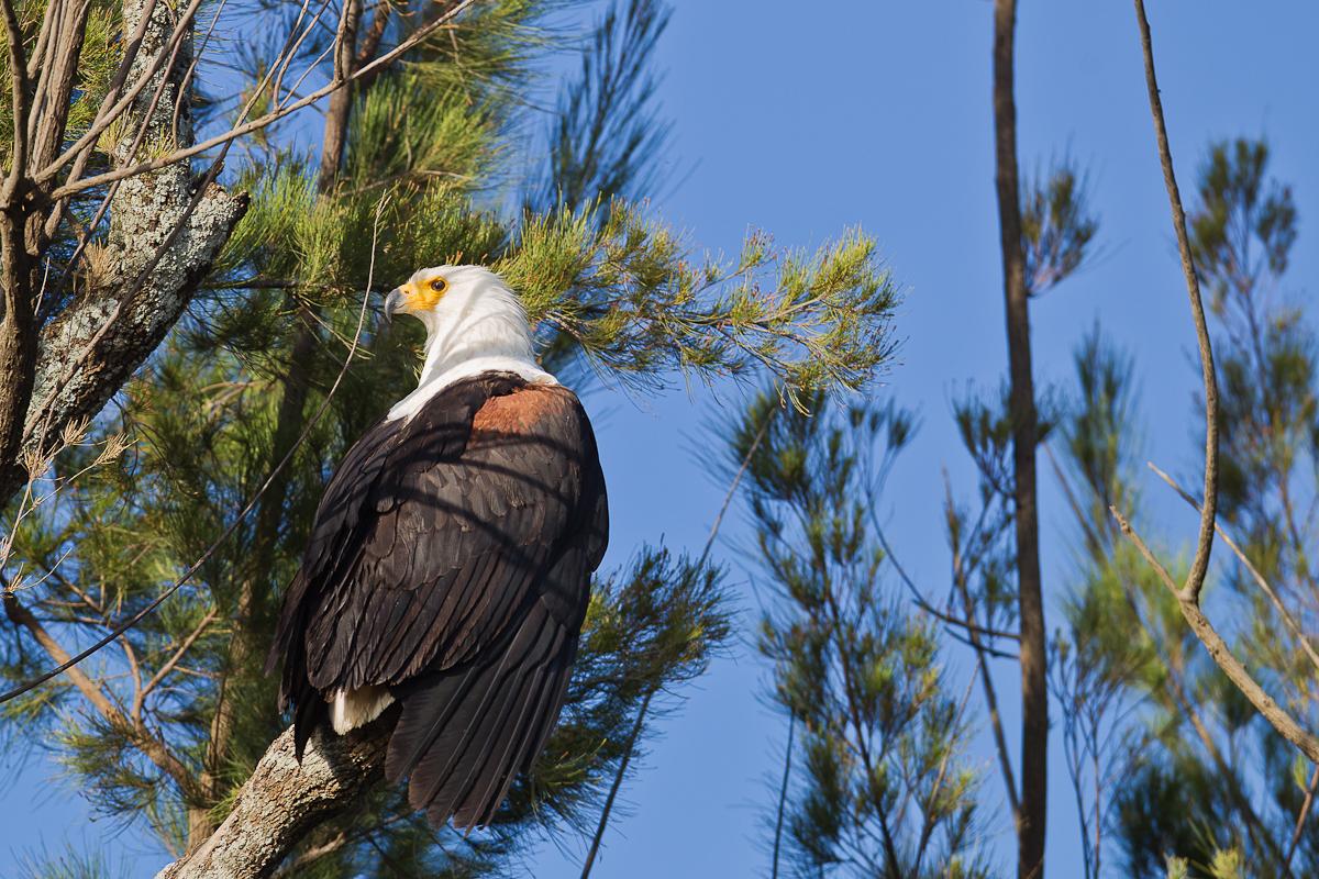 500605-african-fish-eagle-haliaeetus-vocifer