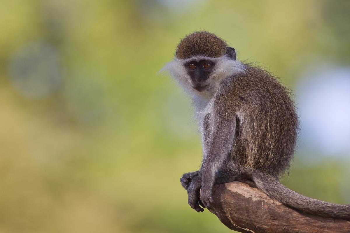 500607-grivet-monkey-chlorocebus-aethiops