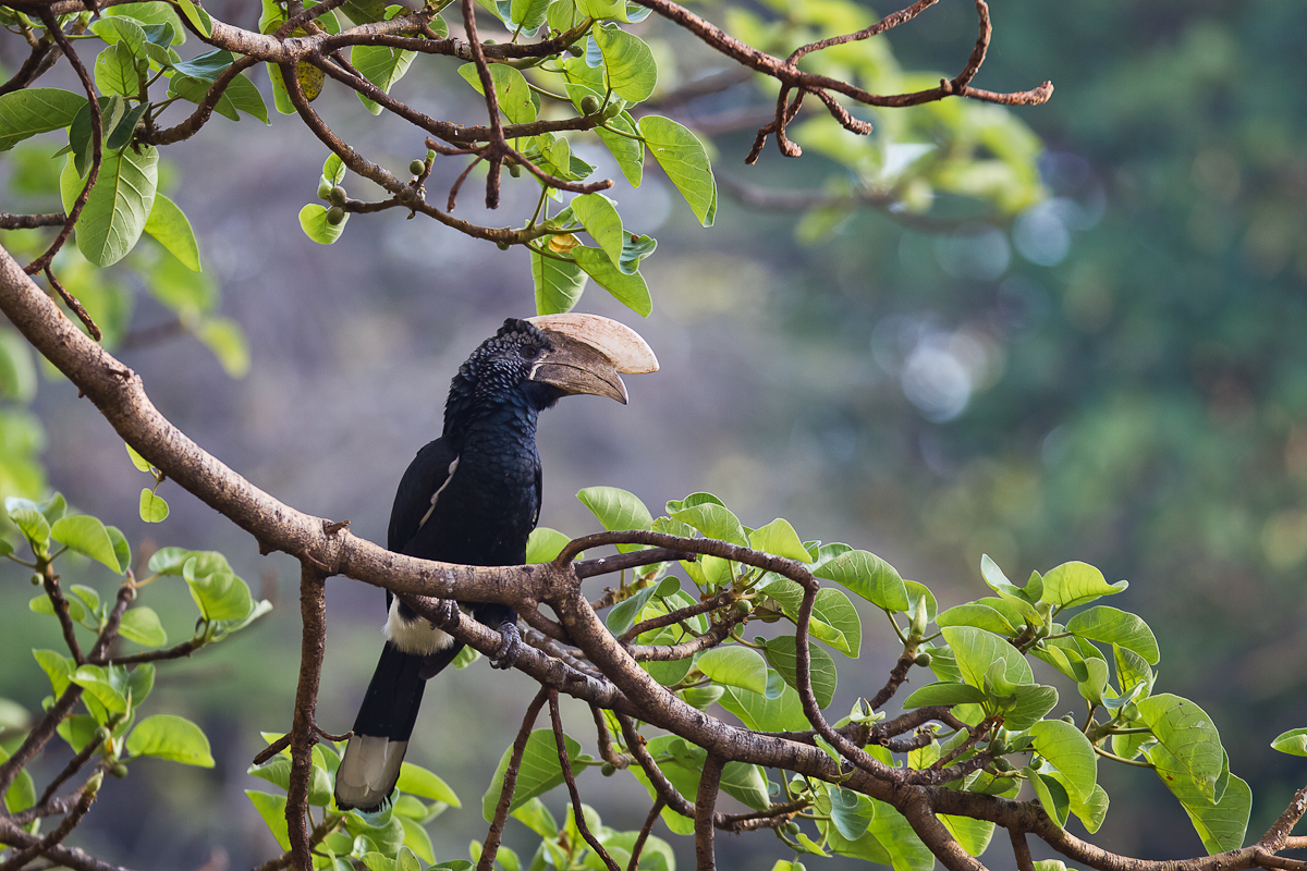500611-silvery-cheeked-hornbill-bycanistes-brevis