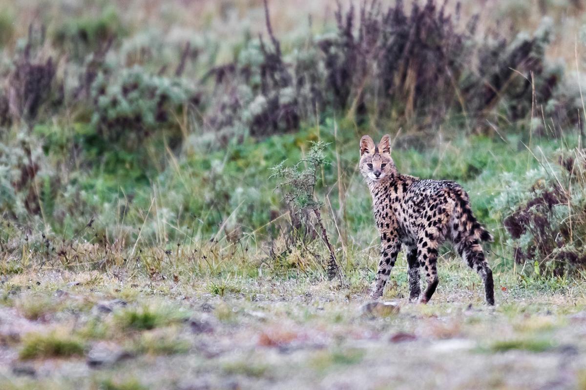 500613-serval-leptailurus-serval