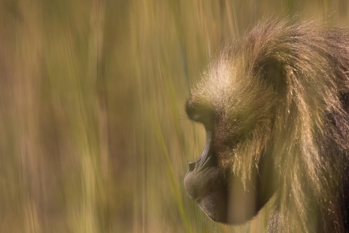 500626-gelada-theropithecus-gelada
