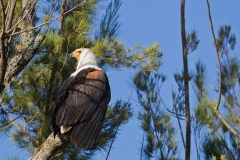 500605-african-fish-eagle-haliaeetus-vocifer