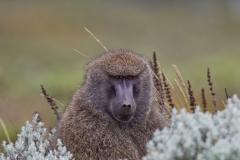 500606-olive-baboon-papio-anubis
