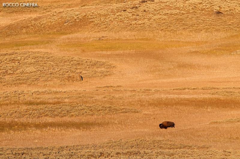 02-american-bison