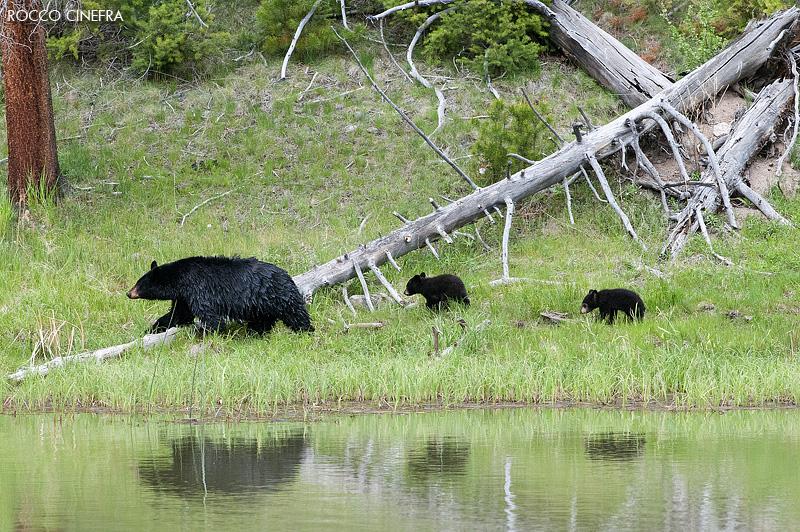 04-black-bear