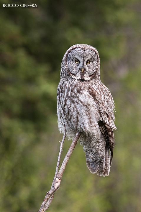 10-great-grey-owl