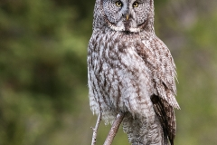 10-great-grey-owl