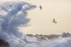 Gulls in storm