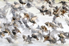Marchi Franco ( Italian ) - Starlings in flight after bathroom || Highly commended