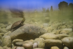 Albiac  Laura ( Spanish ) - Spanish pond turtle || Runner up