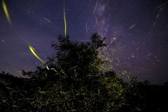 Viraj Ghaisas - INDIA - Il festival delle lucciole / Festival of fireflies || Highly commended