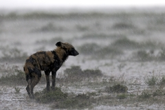 Wild dog in the rain