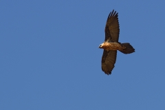 500601-bearded-vulture-gypaetus-barbatus