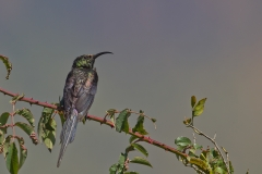 500614-tacazze-sunbird-nectarinia-tacazze