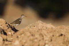 500621-common-sandpiper-actitis-hypoleucos