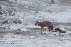 500643-ethiopian-wolf-canis-simensis