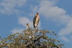 500652-marabou-stork-leptoptilos-crumeniferus