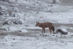 563__520x440_500643-ethiopian-wolf-canis-simensis