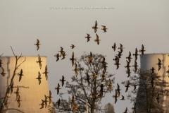 Volo di Combattenti sui le risaie intorno a Trino vercellese, con sullo sfondo, le torri della ex centrale nucleare.